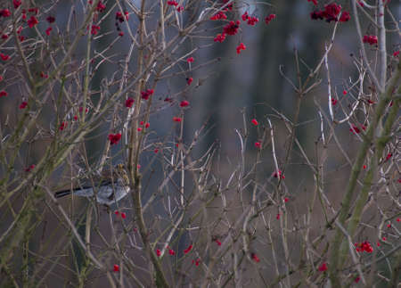 european rowan: Fieldfare Stock Photo