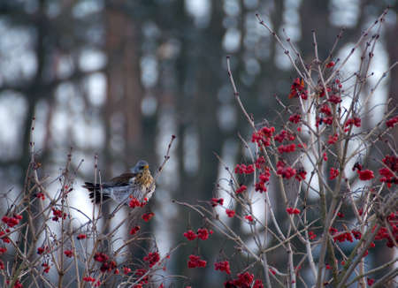 Fieldfare Stock Photo - 16996838