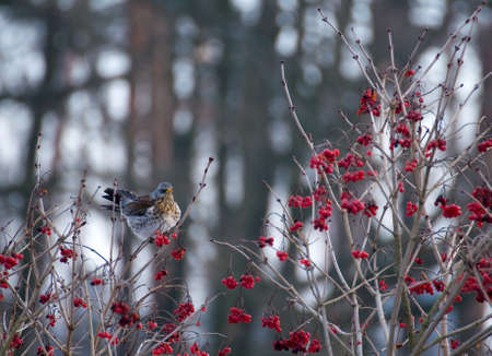 Fieldfare photo