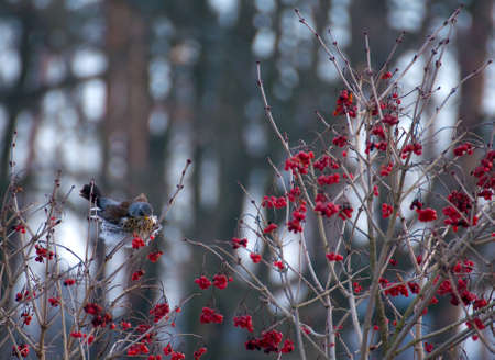 Fieldfare Stock Photo - 16996840