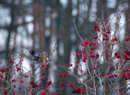 Fieldfare Stock Photo - 16996654