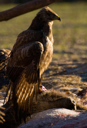 Buzzard Stock Photo - 17057828