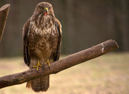 Buzzard photo