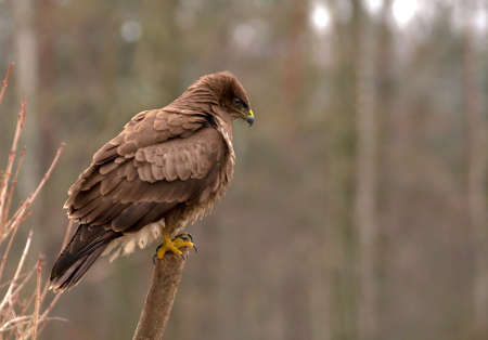 Buzzard Stock Photo - 17088983