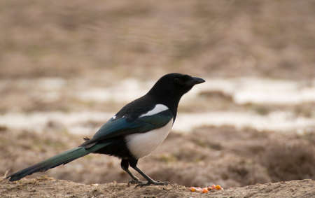 Magpie Stock Photo - 17089116