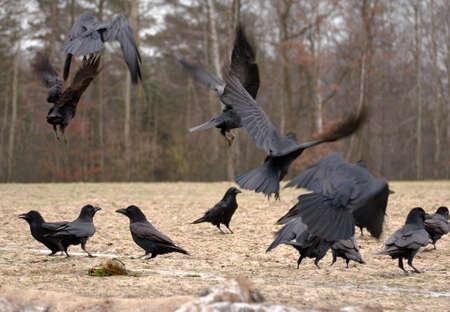 Raven Stock Photo - 17088817