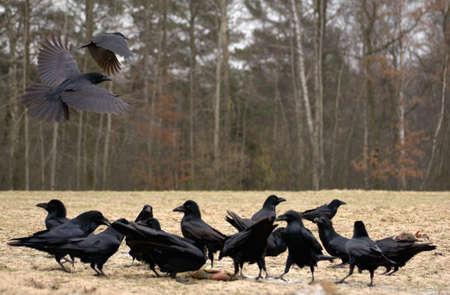 Raven Stock Photo - 17089239