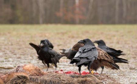 outdoorlooking: Raven