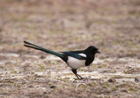 Magpie Stock Photo - 17101256