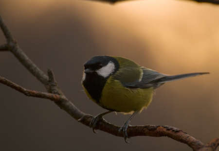 Tit Stock Photo - 17169830