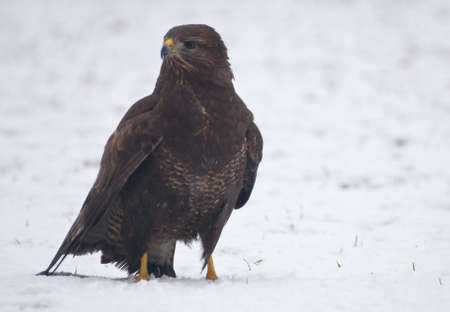 Buzzard Stock Photo - 17220591