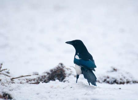 difficult period: magpie