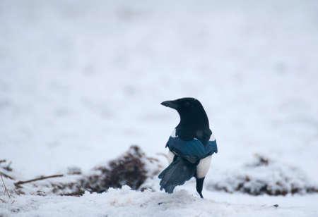 the magpie: magpie