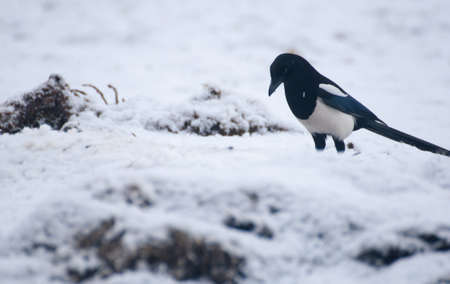 magpie Stock Photo - 17220632
