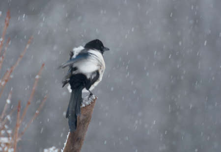 difficult period: magpie