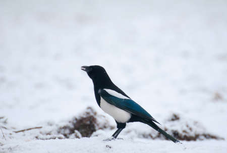 magpie Stock Photo - 17220596