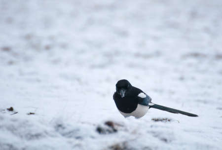 magpie Stock Photo - 17220616