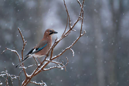 difficult period: Common jay