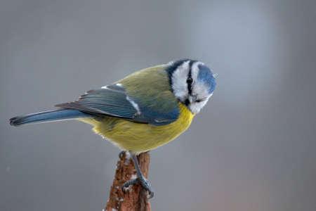 Blue tit Stock Photo - 17220654