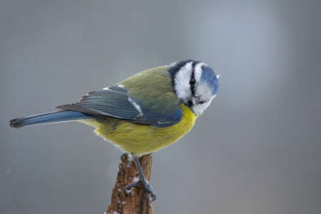Blue tit Stock Photo - 17220724