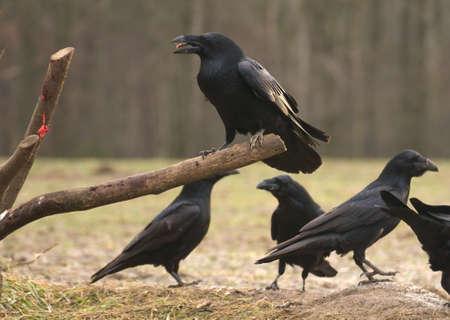 curved leg: Raven