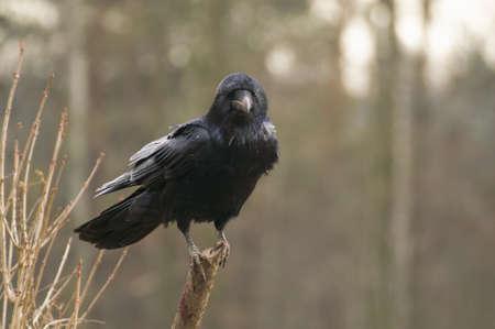 Raven Stock Photo - 17295040