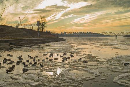 Mallard, river and bridge photo