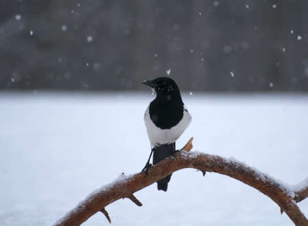 Magpie Stock Photo - 17322290