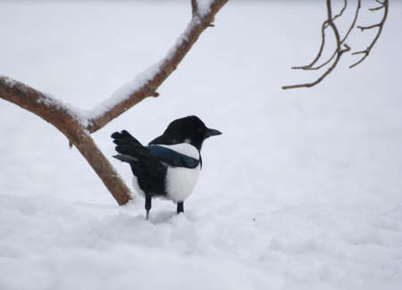difficult period: Magpie Stock Photo