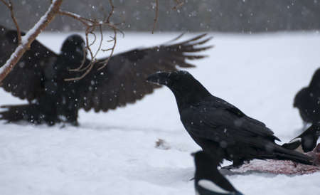 curve claw: Raven