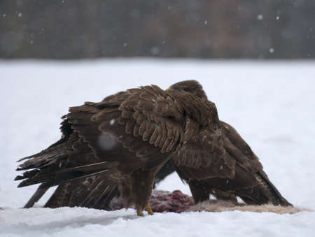 difficult period: Buzzard Stock Photo
