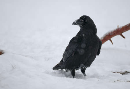 difficult period: Raven