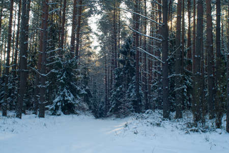 Winter forest Stock Photo - 17322373