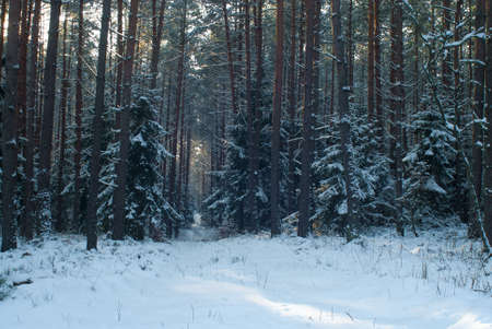 Winter forest Stock Photo - 17322372