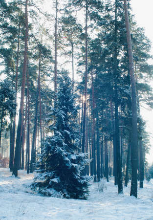 Winter forest Stock Photo - 17322379