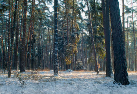 Winter forest Stock Photo - 17322391