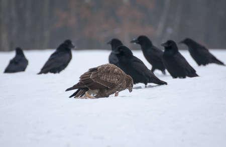 Buzzard and raven