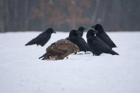 Buzzard and raven photo