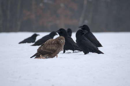 Buitre y cuervo Foto de archivo - 17322283