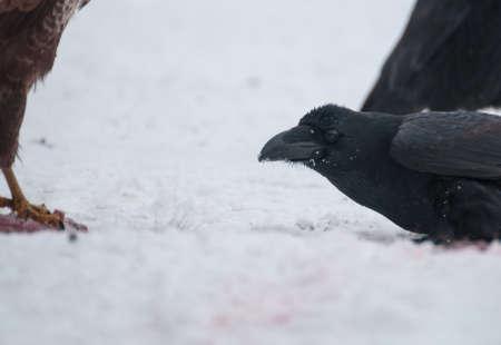 Raven Stock Photo - 17322240