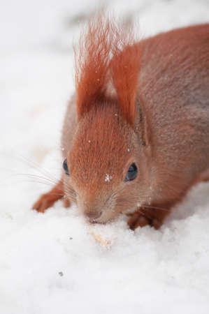 brusch: Squirrel