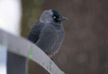 Jackdaw Stock Photo - 17496989