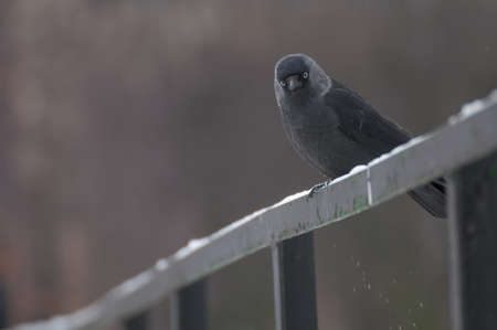 Jackdaw Stock Photo - 17496949