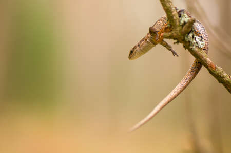 Lizard Stock Photo - 17497563