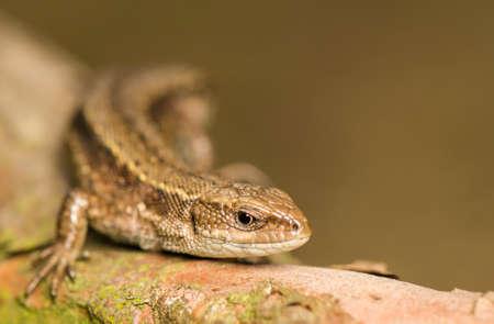 Lizard Stock Photo - 17497611