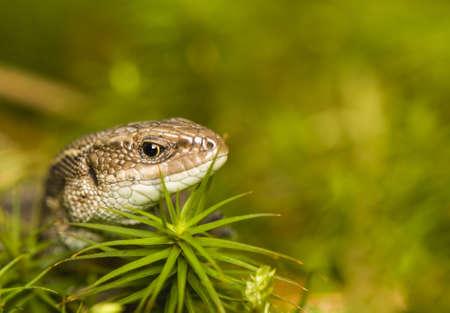 Lizard Stock Photo - 17497548