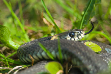 Grass snake Stock Photo - 17497638
