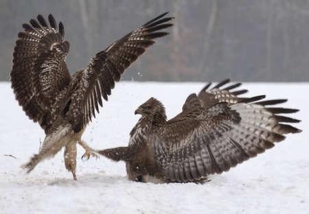 Buzzard fight Stock Photo - 17654453