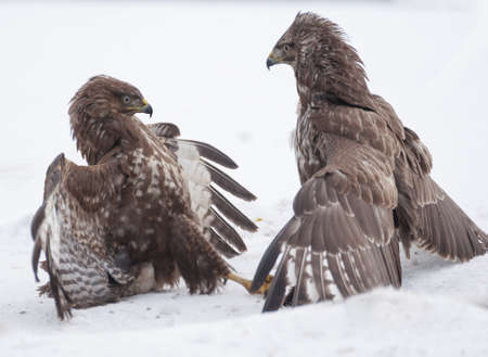 Buzzard fight Stock Photo - 17653375