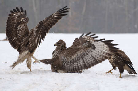 Buzzard fight Stock Photo - 17653385
